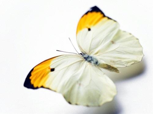 butterfly-veer1