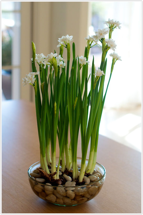 How_To_Grow_Paperwhites