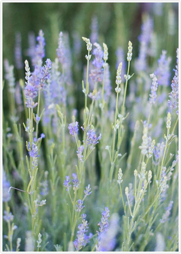Lavender Garden | Camille Styles