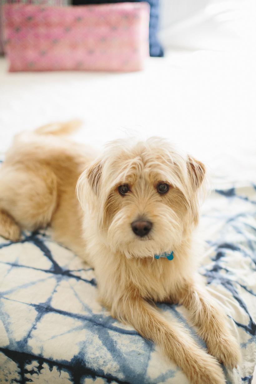 wheaton terrier mix
