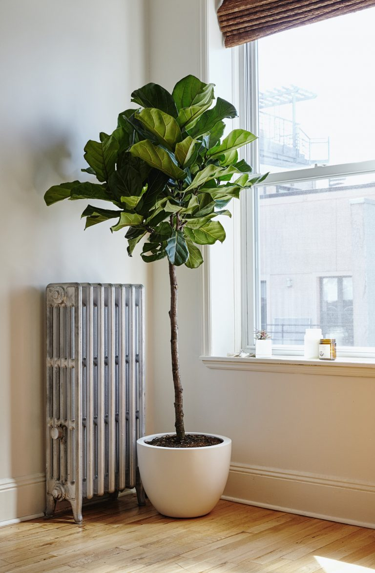 TheSill Fiddle Leaf Fig