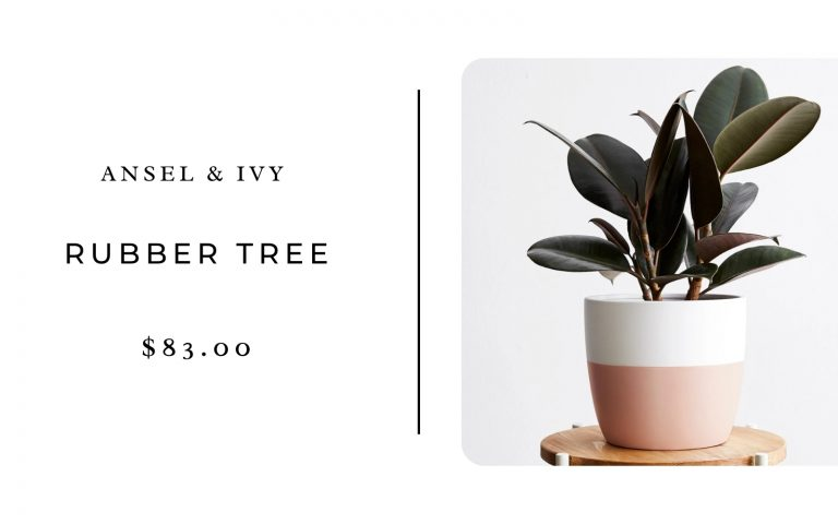 Ansel & Ivy Potted Rubber Tree