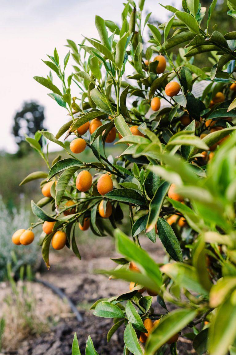 Orange trees - Modern Patio - Home of Helene Henderson - Malibu Farm