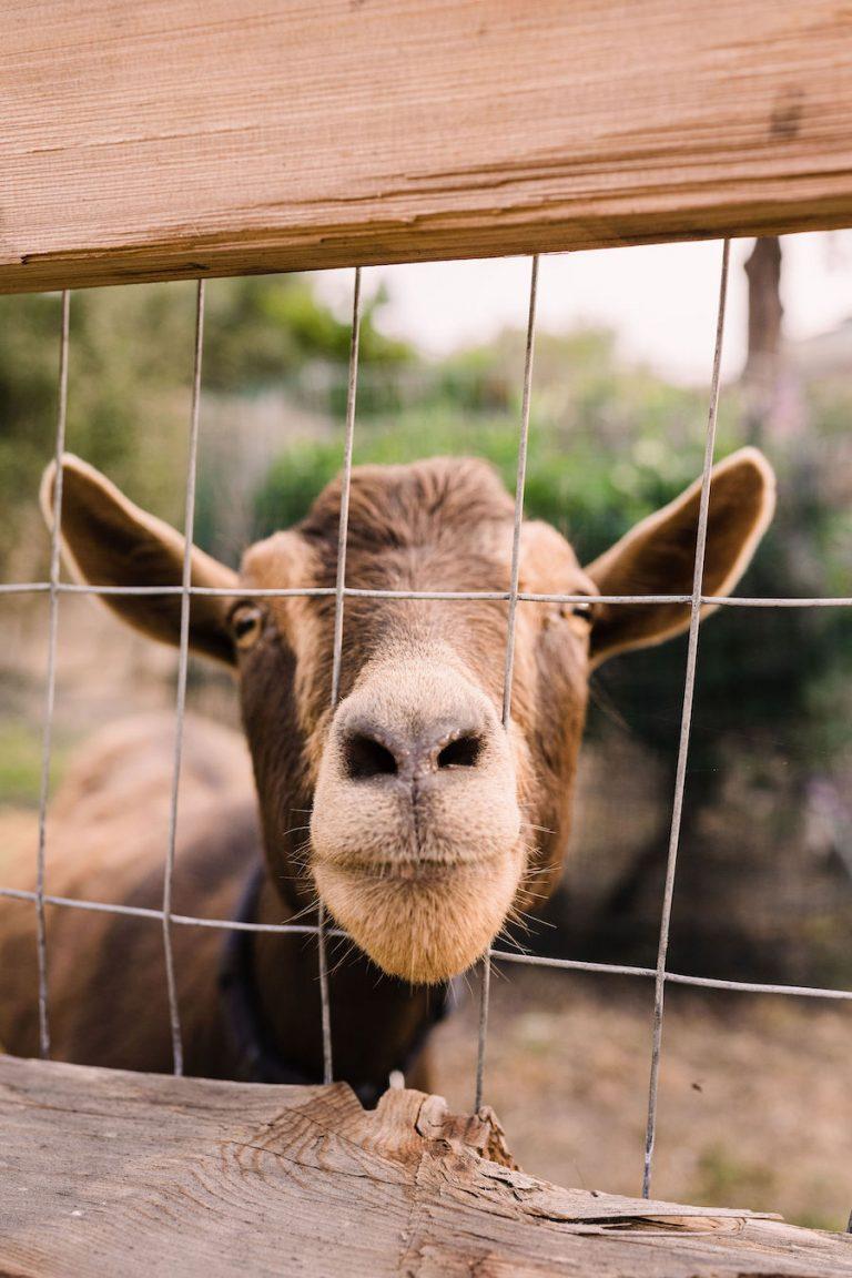 goats - malibu farm