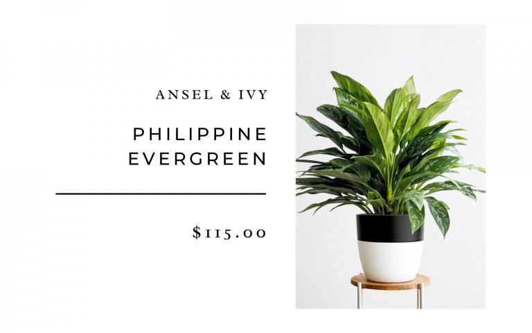 phillipine evergreen